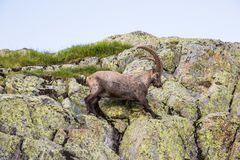 Wilde Steenbok die Rotsen op Sunny Summer Day in de Franse Alp beklimmen royalty-vrije stock afbeelding