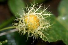 Wilde Stekelig Weinig Fruit Stock Foto's