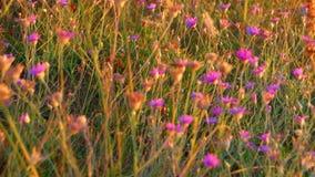 Wilde Steppenanlagen im Sommer Viele kleinen Wildflowers der violetten Farbe im warmen Sonnenuntergang beleuchten stock video footage