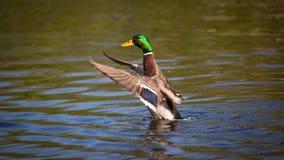 Wilde Stockente in einem Teich Stockfotografie