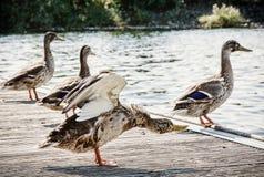 Wilde Stockenten auf dem See stützen, natürliche Szene unter Stockfotos