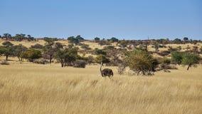 Wilde struisvogel die door savanneweide lopen stock fotografie