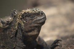 Wilde Szene des Eidechsenabschlusses oben in Galapagos-Insel Stockfotografie