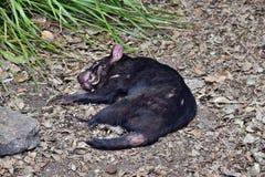 Wilde Tasmaanse duivel stock foto
