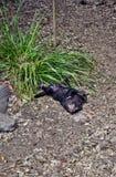 Wilde Tasmaanse duivel bedreigd met uitsterven royalty-vrije stock foto