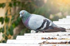 Wilde Taube auf Dachgebäude Es schöne Taube Stockbild