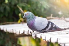 Wilde Taube auf Dachgebäude Es schöne Taube oder Taube Lizenzfreies Stockbild