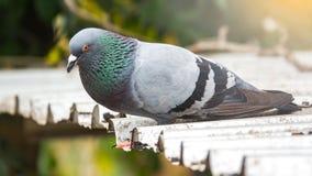 Wilde Taube auf Dachgebäude Es schöne Taube oder Taube Lizenzfreie Stockbilder
