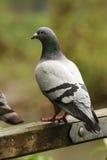 Wilde Taube auf Gatter stockbild