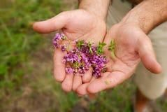 Wilde thyme in handen Stock Fotografie