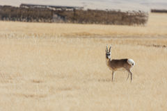 Wilde tibetan antilope Royalty-vrije Stock Foto's