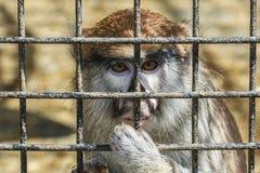 Wilde Tiere Affe mit einem traurigen Blick sitzt hinter einem Metallgitter Stockbilder