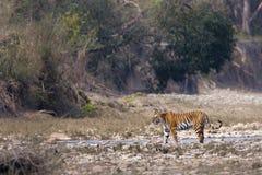 Wilde Tigerfrau Stockfotografie