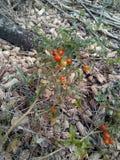 Wilde Tomaten royalty-vrije stock foto's
