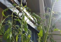 Wilde Tomatenplant Royalty-vrije Stock Afbeelding