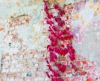 Wilde Trauben auf alter Wand in der Perspektive Stockbild