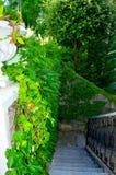 Wilde Trauben auf der Wand Stockfoto