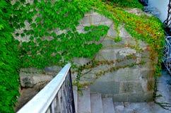 Wilde Trauben auf der Wand Stockfotos
