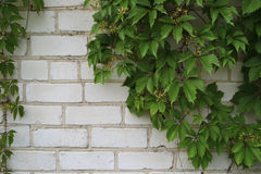 Wilde Trauben auf Ziegelstein Stockfotografie
