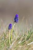 Wilde Trauben-Hyazinthenblumen im Gras Lizenzfreies Stockfoto