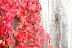 Wilde Traubenanlage 2 Stockbild