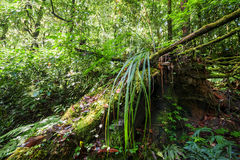 Wilde tropische Anlage im moosigen Regenwald Thailand Stockbild