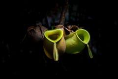 Wilde tropische Kannenpflanze Lizenzfreies Stockbild
