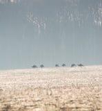 Wilde Truthähne Stockbilder