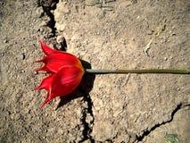 Wilde tulp op de weg Stock Foto