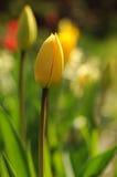 Wilde Tulpe lizenzfreie stockbilder