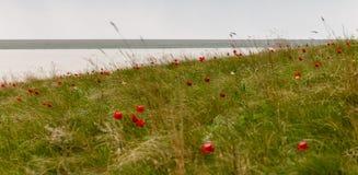 Wilde Tulpen auf der Bank des Flusses Manych Stockfotos