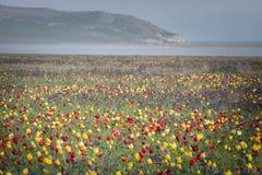 Wilde tulpen in groen gras Stock Afbeelding