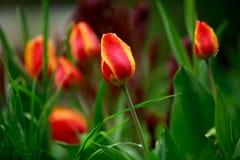 Wilde Tulpen nach dem Regen Stockbild