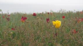Wilde tulpen op het gebied Stock Foto