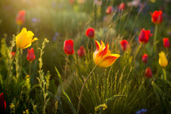 Wilde Tulpen Shrenka Lizenzfreies Stockfoto