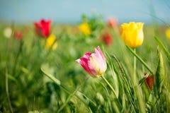 Wilde Tulpen Shrenka Lizenzfreie Stockfotografie