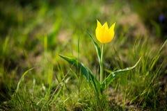 Wilde Tulpen Shrenka Stockbild