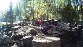 Wilde Turkije en haan op rotsen in een park stock videobeelden