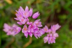 Wilde uibloem op een groene achtergrond Roze bloembloei met Stock Foto's