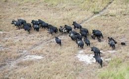 Wilde varkens Stock Afbeeldingen