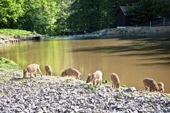 Wilde varkens in natuurreservaat stock foto's