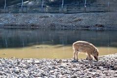 Wilde varkens in natuurreservaat stock afbeelding