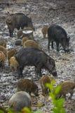 Wilde varkenswijfje en biggetjes in de modder Stock Foto