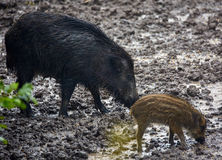 Wilde varkenswijfje en biggetjes in de modder Stock Foto's
