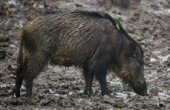 Wilde varkenswijfje en biggetjes in de modder Stock Afbeeldingen