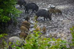 Wilde varkenswijfje en biggetjes in de modder Royalty-vrije Stock Foto's