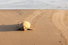 Wilde verbinding die omhoog het strand waggelen Royalty-vrije Stock Foto's