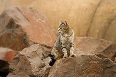 Wilde verdwaalde kat onder rotsen Royalty-vrije Stock Fotografie