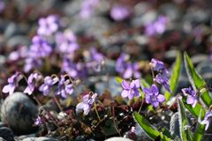 Wilde Violette bloemen die in de lente tot bloei komen royalty-vrije stock foto's