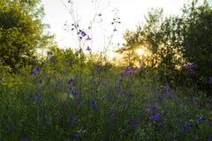 Wilde violette bloemen van Consolida Regalis Stock Foto's